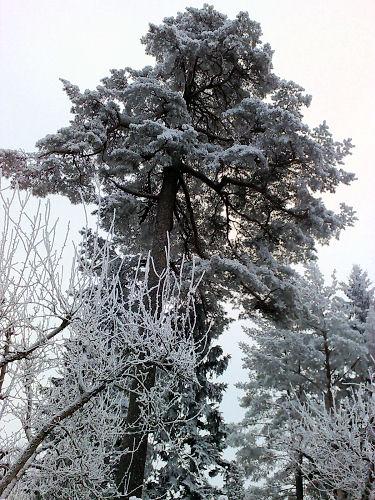 tallfrost.jpg