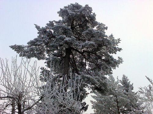 tallfrost2.jpg