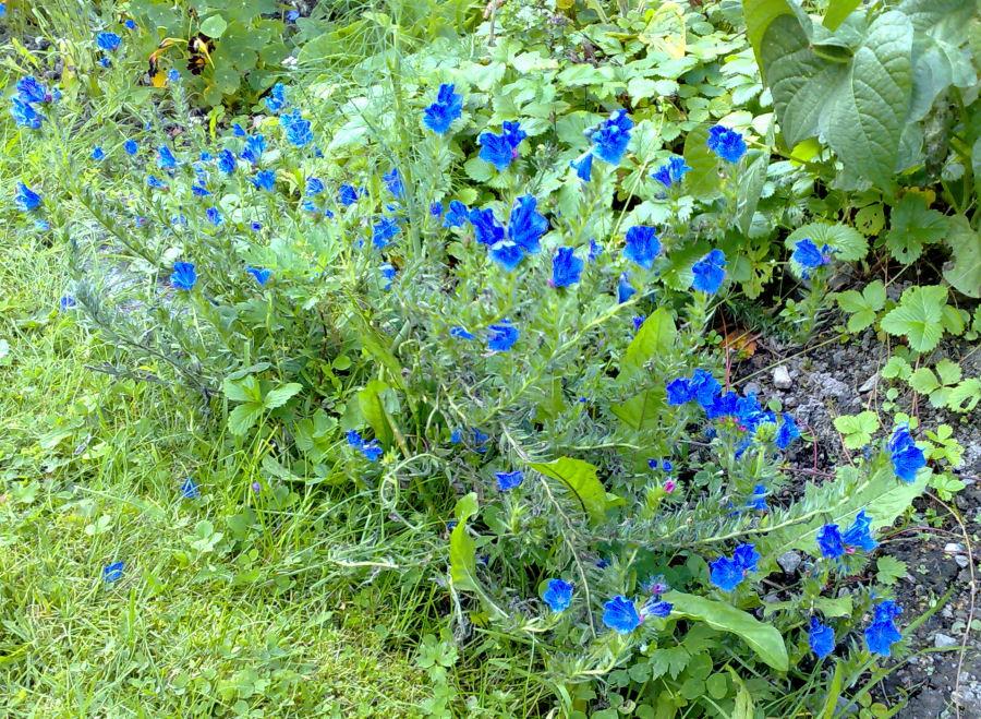 blå blommor perenner