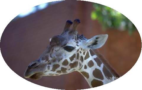 1wm_giraffes_012